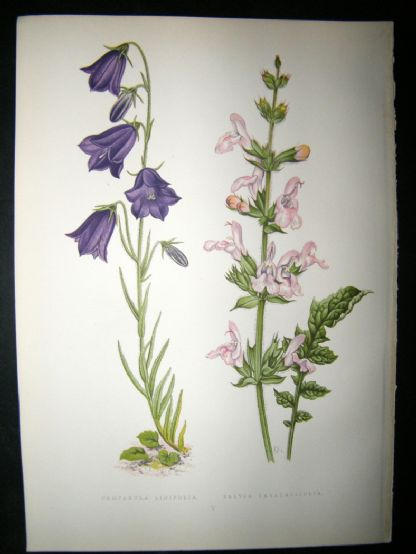 Wooster 1874 Antique Botanical Print. Campanula Linifolia | Albion Prints